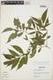 Faramea quinqueflora Poepp., Peru, L. Hendrix 299, F