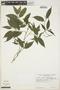 Faramea quinqueflora Poepp., Peru, C. Davidson 5351, F