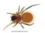 Ceraticelus fissiceps female habitus