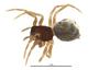 Ceratinops annulipes female habitus