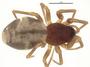 Grammonota pictilis female habitus