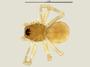 Mermessus entomologicus female habitus