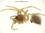 Mermessus trilobatus female habitus