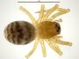 Spirembolus erratus female habitus