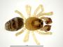Spirembolus erratus male habitus