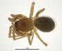 Spirembolus hibernus female habitus
