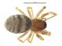 Spirembolus pusillus female habitus