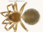 Spirembolus redondo female habitus