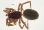 Walckenaeria castanea female habitus