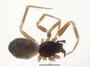 Walckenaeria subdirecta female habitus