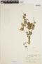 Peperomia pellucida (L.) Kunth, CONGO, 423, F
