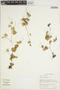 Peperomia pellucida (L.) Kunth, CAMEROON, S. A. Thompson 1358, F
