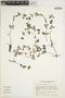 Peperomia tetraphylla Hook. & Arn., KENYA, R. B. Faden 77/878, F