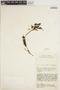 Peperomia Ruíz & Pav., KENYA, R. A. Maas Geesteranus 5970, F