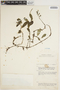 Peperomia Ruíz & Pav., KENYA, R. A. Maas Geesteranus 5174, F