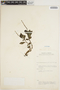 Peperomia Ruíz & Pav., KENYA, R. A. Maas Geesteranus 4777, F