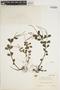 Peperomia blanda (Jacq.) Kunth, Taiwan, T. Tanaka, F
