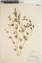 Peperomia pellucida (L.) Kunth, Indonesia, H. H. Bartlett 8745, F