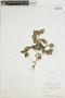 Peperomia pellucida (L.) Kunth, PHILIPPINES, C. F. Millspaugh 2785, F