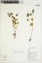 Peperomia pellucida (L.) Kunth, VIETNAM, D. D. Soejarto 10800, F