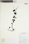 Peperomia tetraphylla Hook. & Arn., VIETNAM, L. V. Averyanov 1653, F