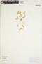 Peperomia tetraphylla Hook. & Arn., CHINA [Zhonghua], L. Heng 13665, F