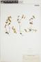 Peperomia tetraphylla Hook. & Arn., PHILIPPINES, A. D. E. Elmer 8576, F