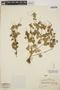 Peperomia pellucida (L.) Kunth, SAMOA, A. J. Eames 16, F