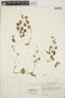 Peperomia pellucida (L.) Kunth, C. Y. C. Wong 318, F