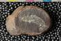 Mazon Creek Fossil