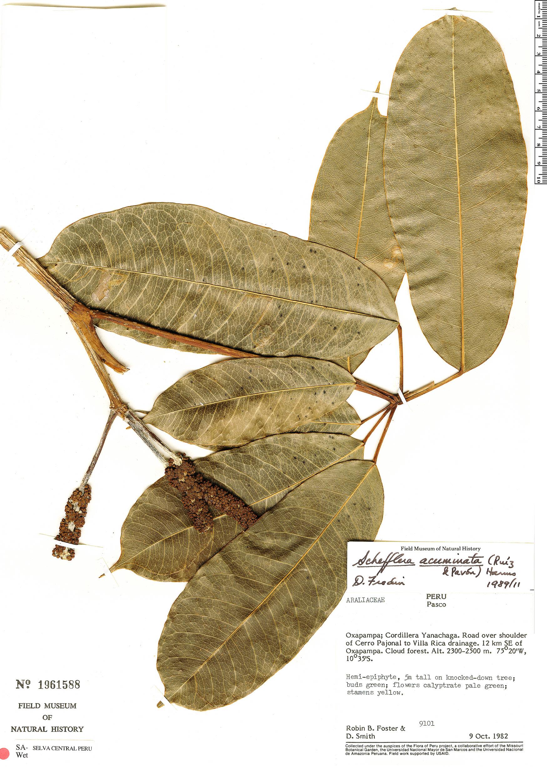 Specimen: Schefflera acuminata