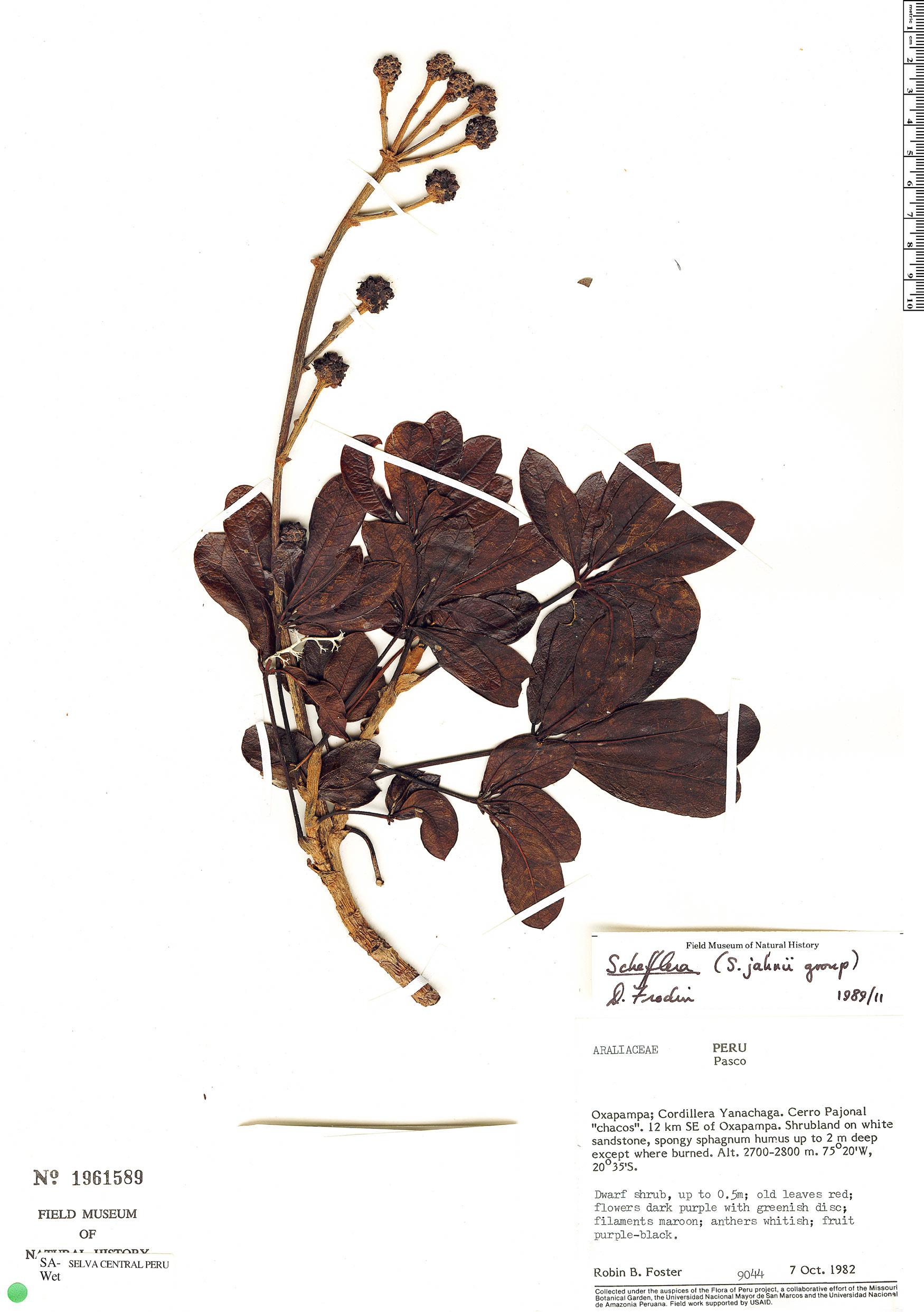 Specimen: Schefflera jahnii