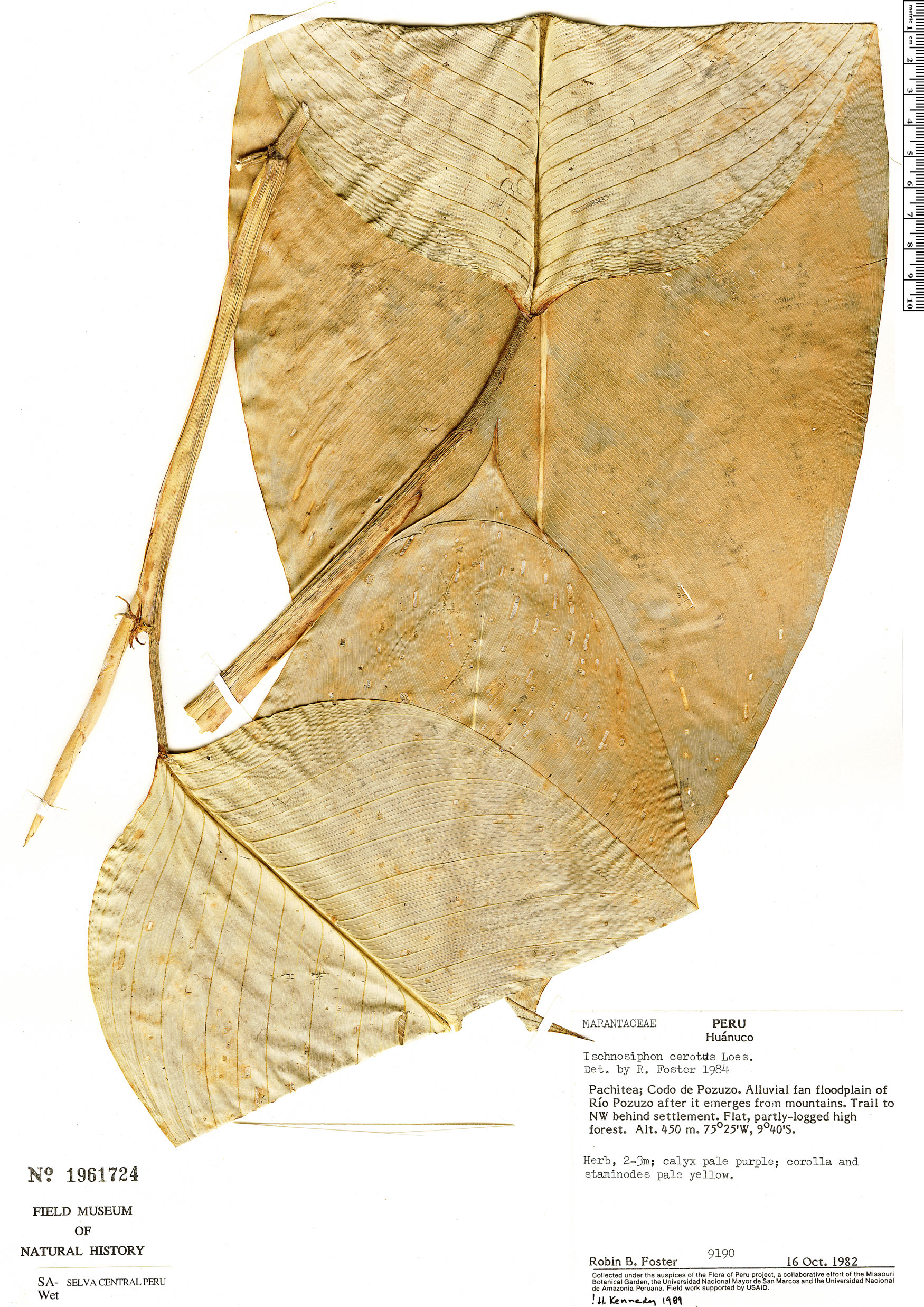 Specimen: Ischnosiphon cerotus