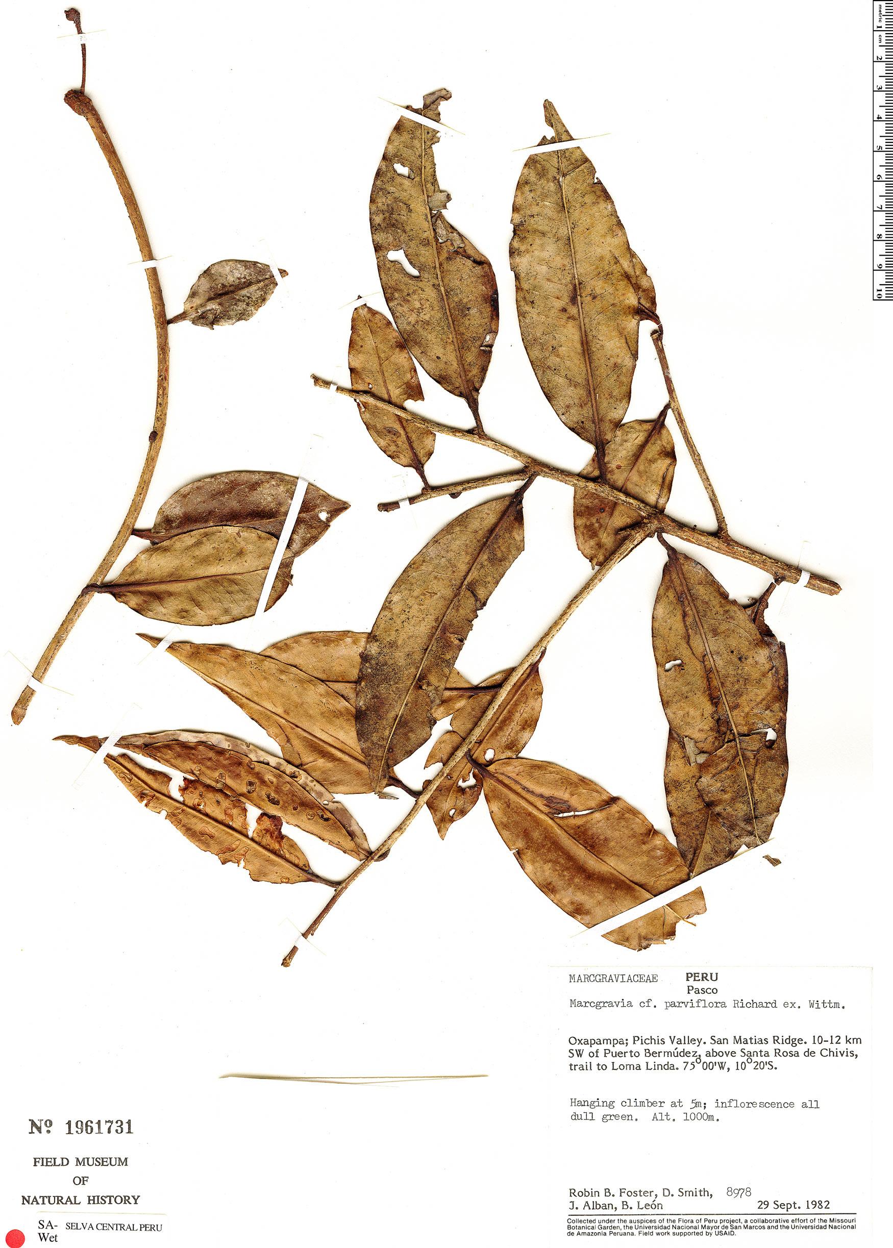 Specimen: Marcgravia parviflora