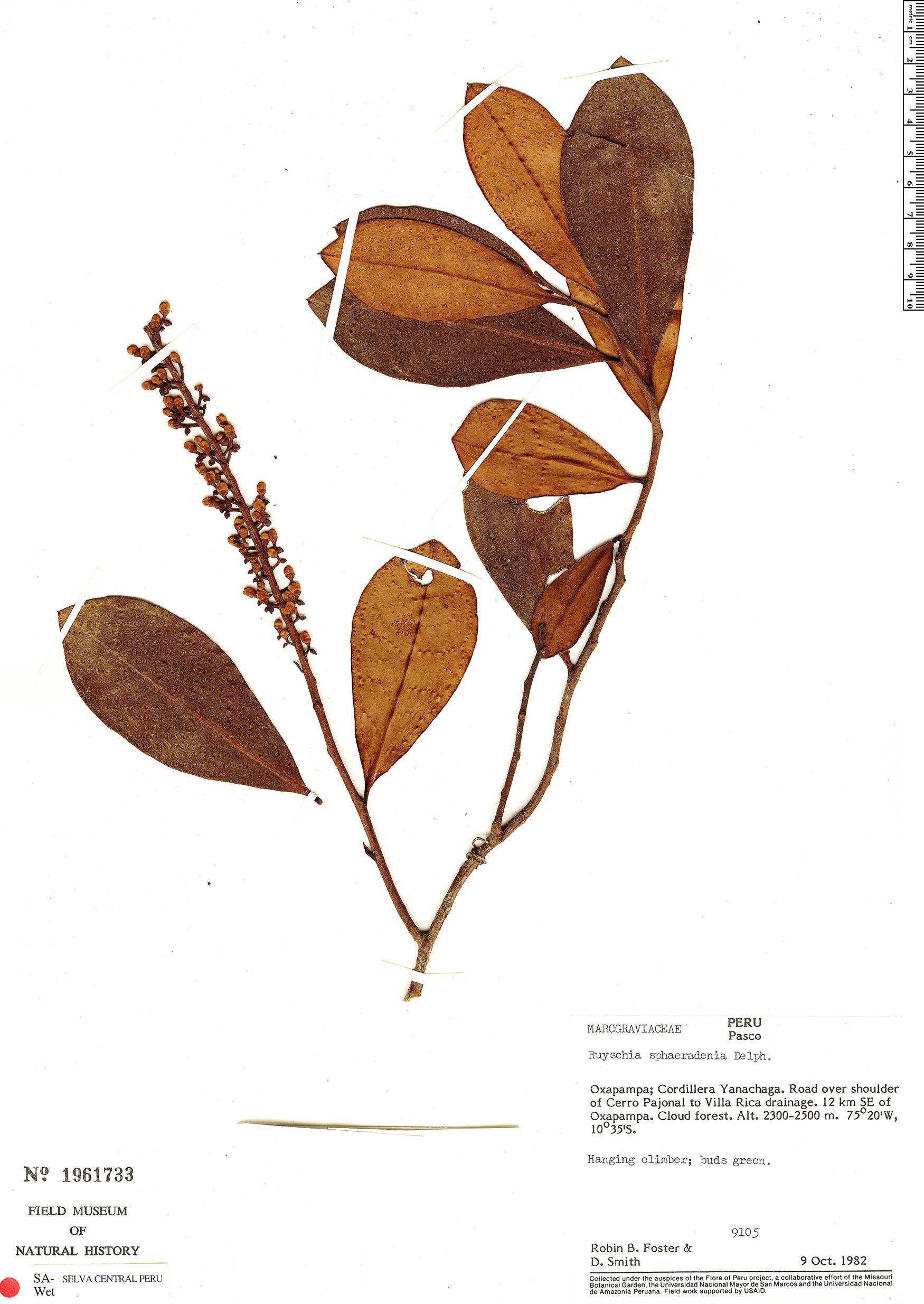 Specimen: Ruyschia pavonii