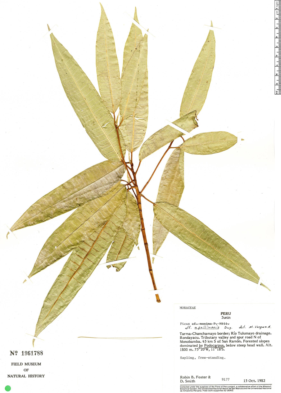Specimen: Ficus loxensis