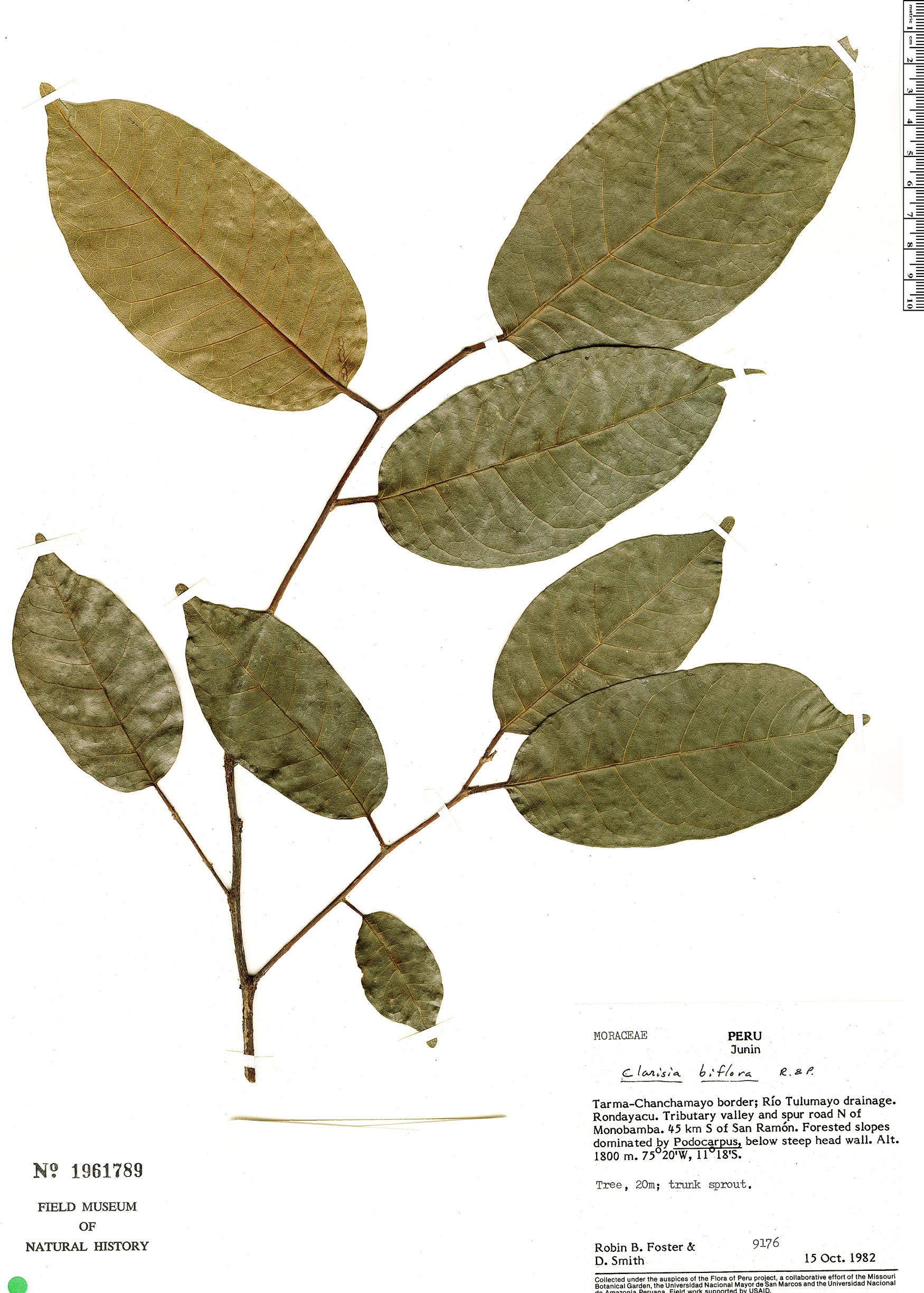 Specimen: Clarisia biflora