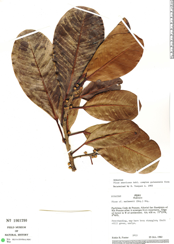Espécime: Ficus americana