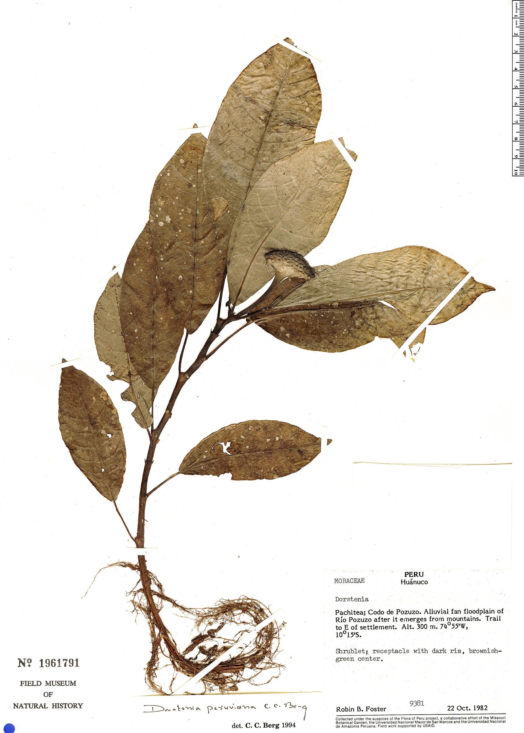 Specimen: Dorstenia peruviana