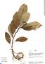 Dorstenia peruviana, Peru, R. B. Foster 9381, F