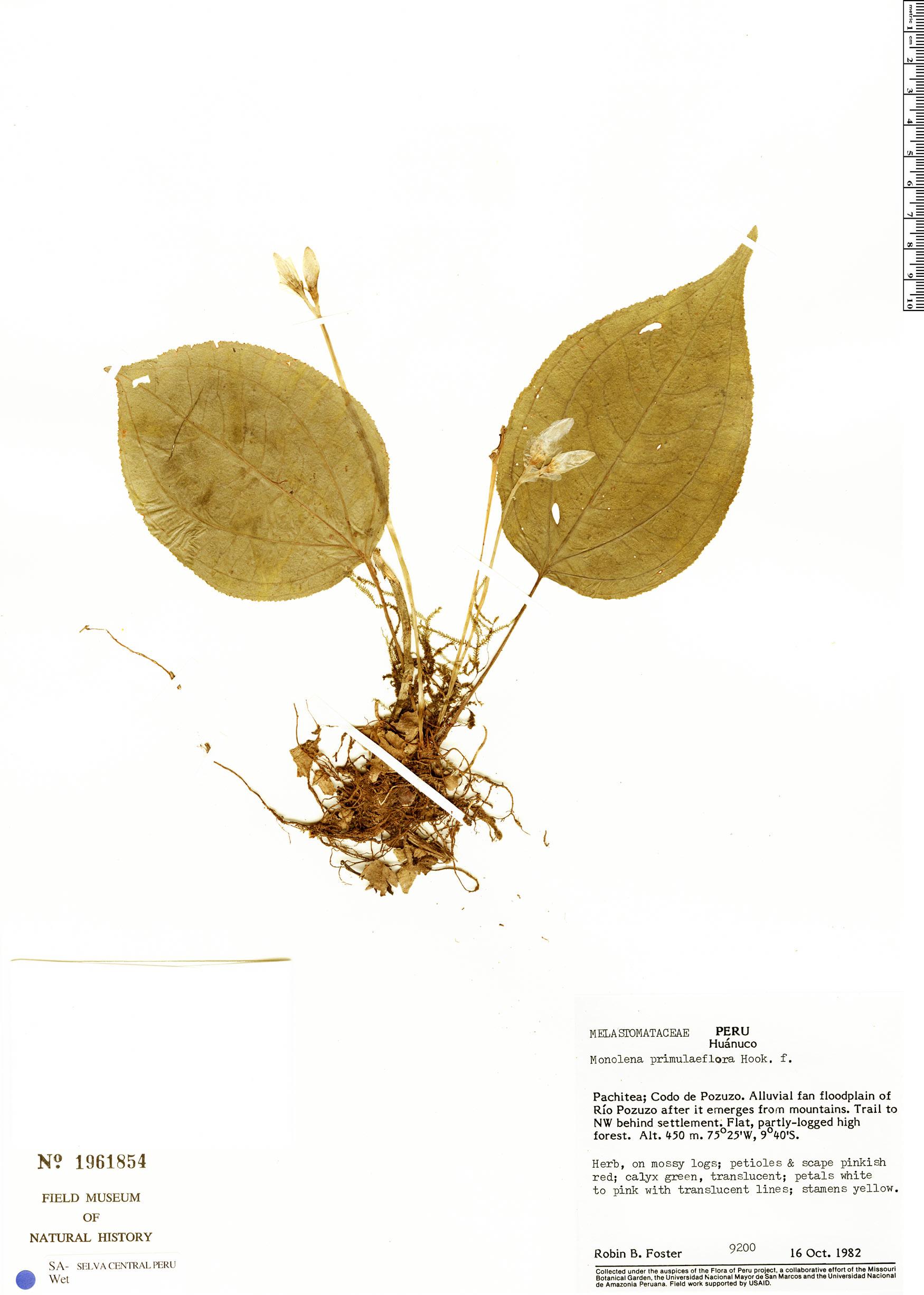 Specimen: Monolena primuliflora