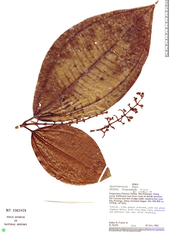 Specimen: Miconia lamprophylla
