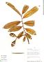 Virola pavonis (A. DC.) A. C. Sm., Peru, D. N. Smith 8394, F