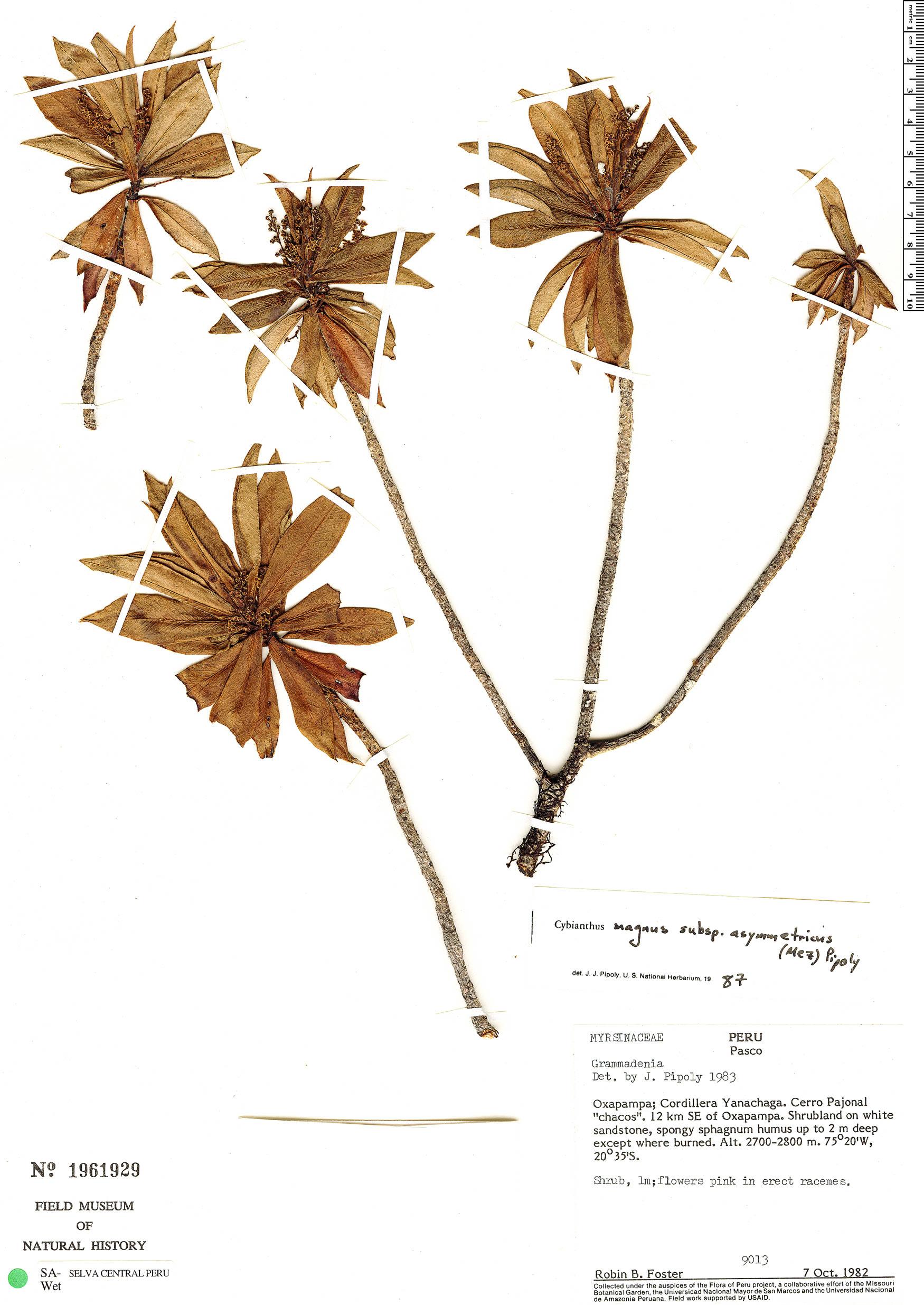 Specimen: Cybianthus magnus