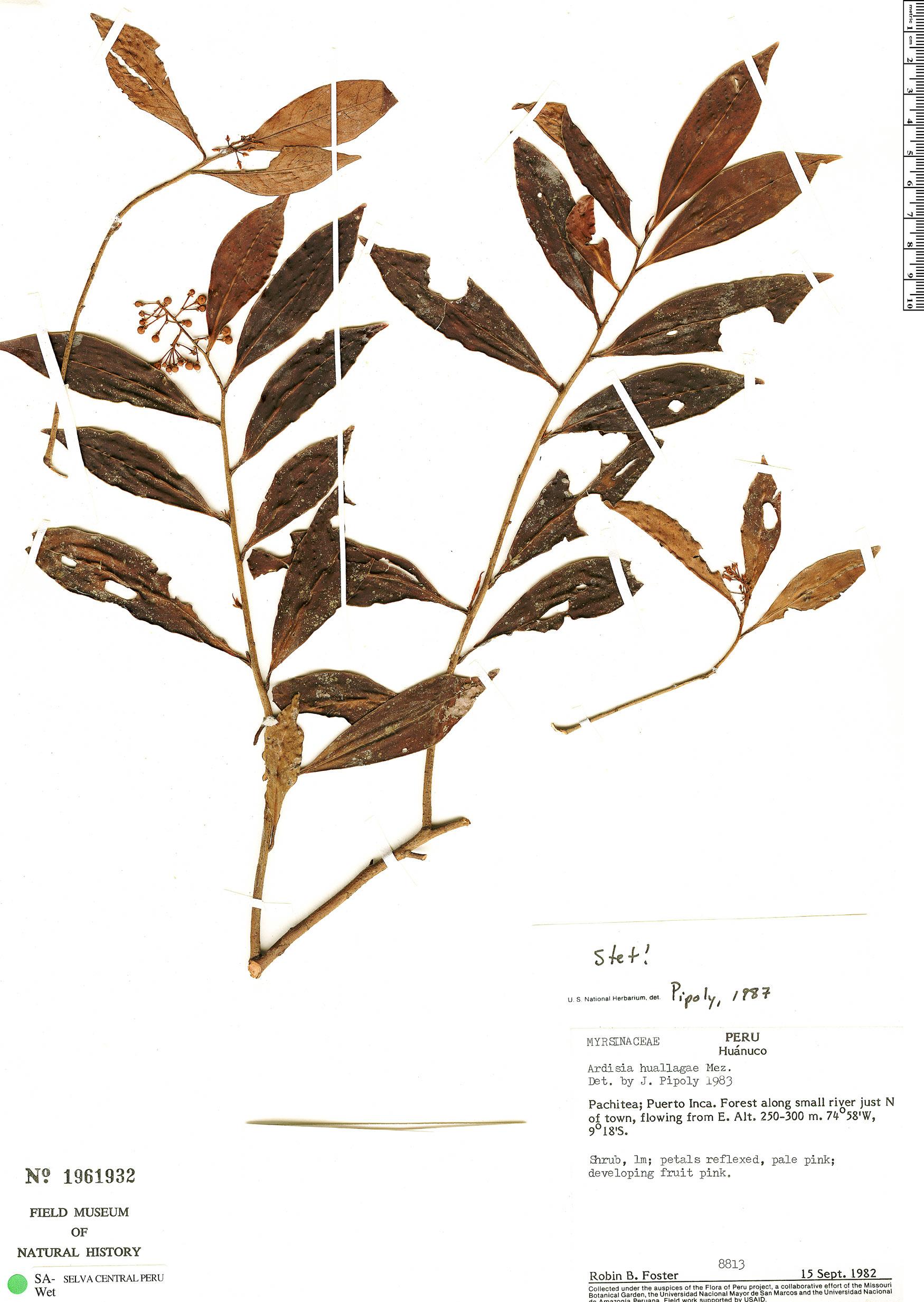 Specimen: Ardisia huallagae