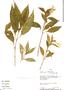 Ruellia puri Nees, Peru, D. N. Smith 1826, F