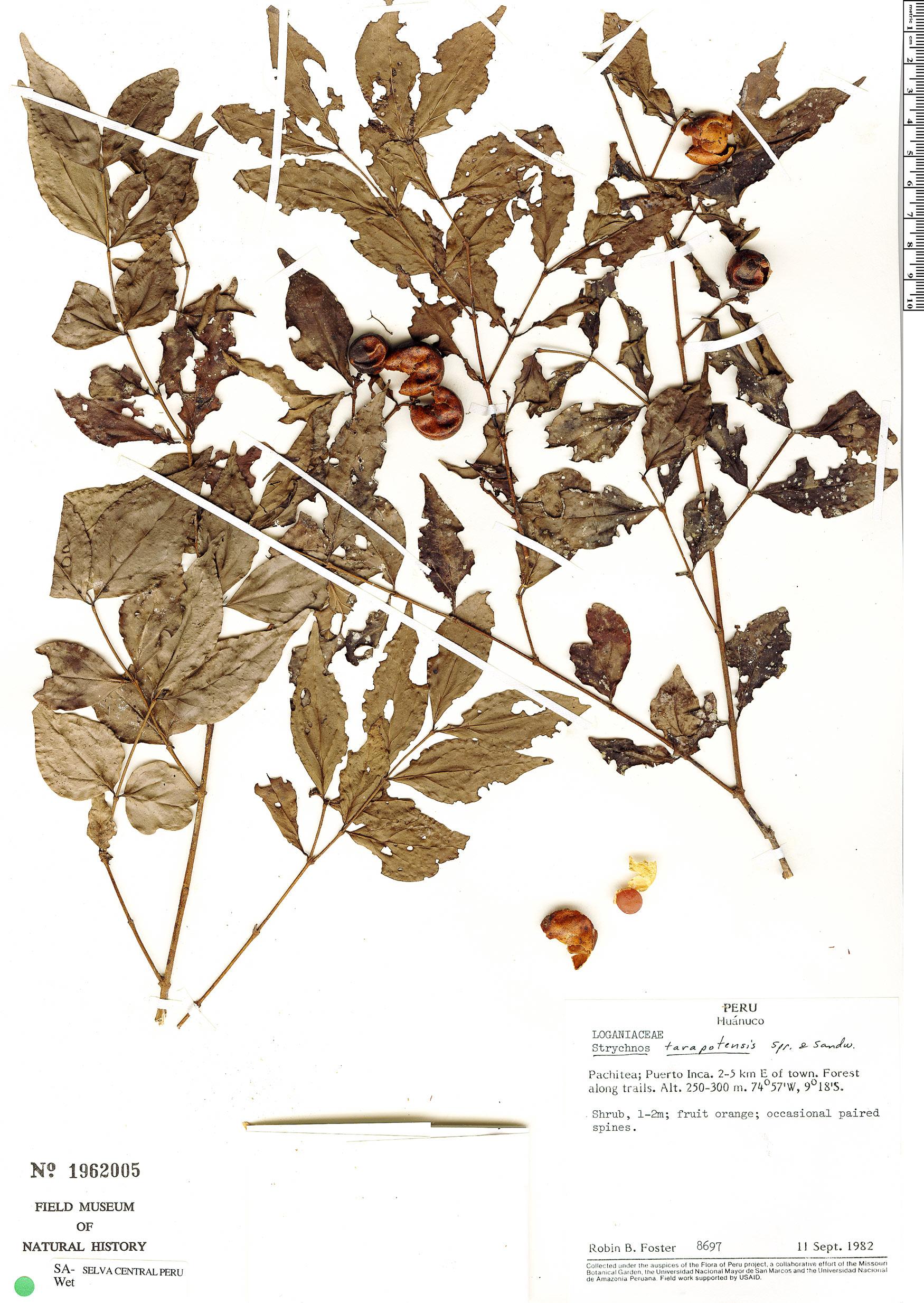Espécimen: Strychnos tarapotensis