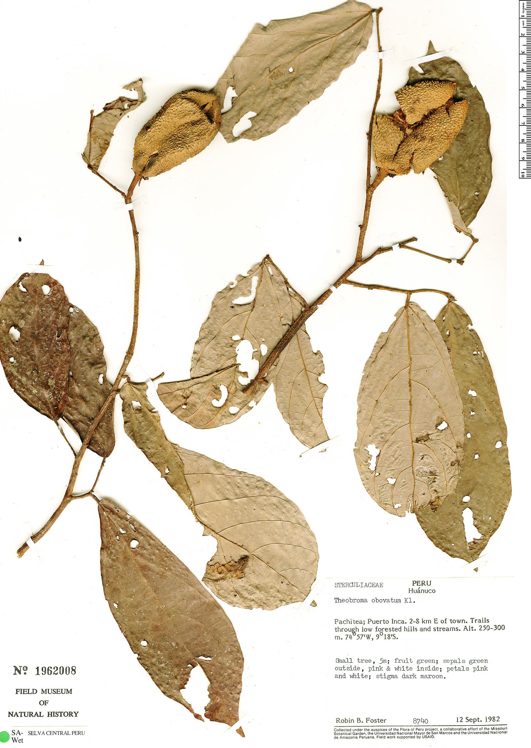 Specimen: Theobroma obovatum