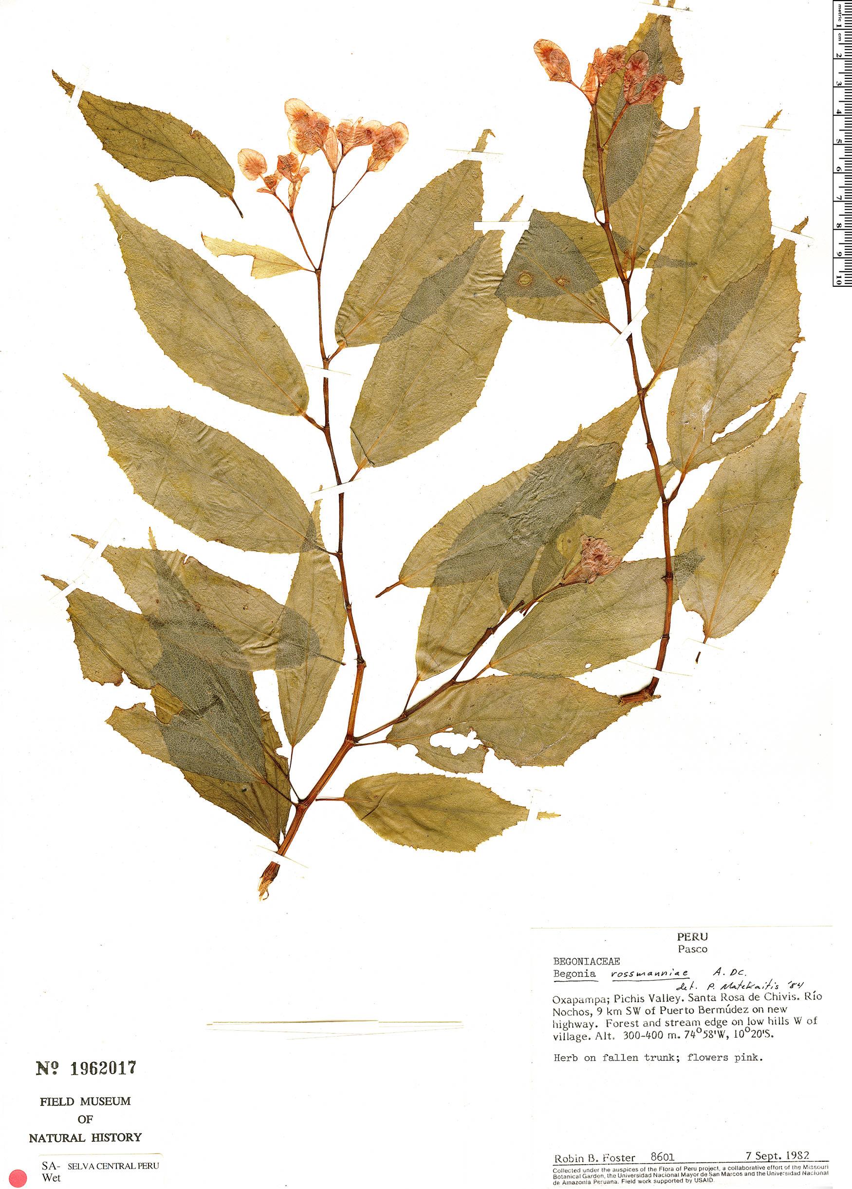 Specimen: Begonia rossmanniae