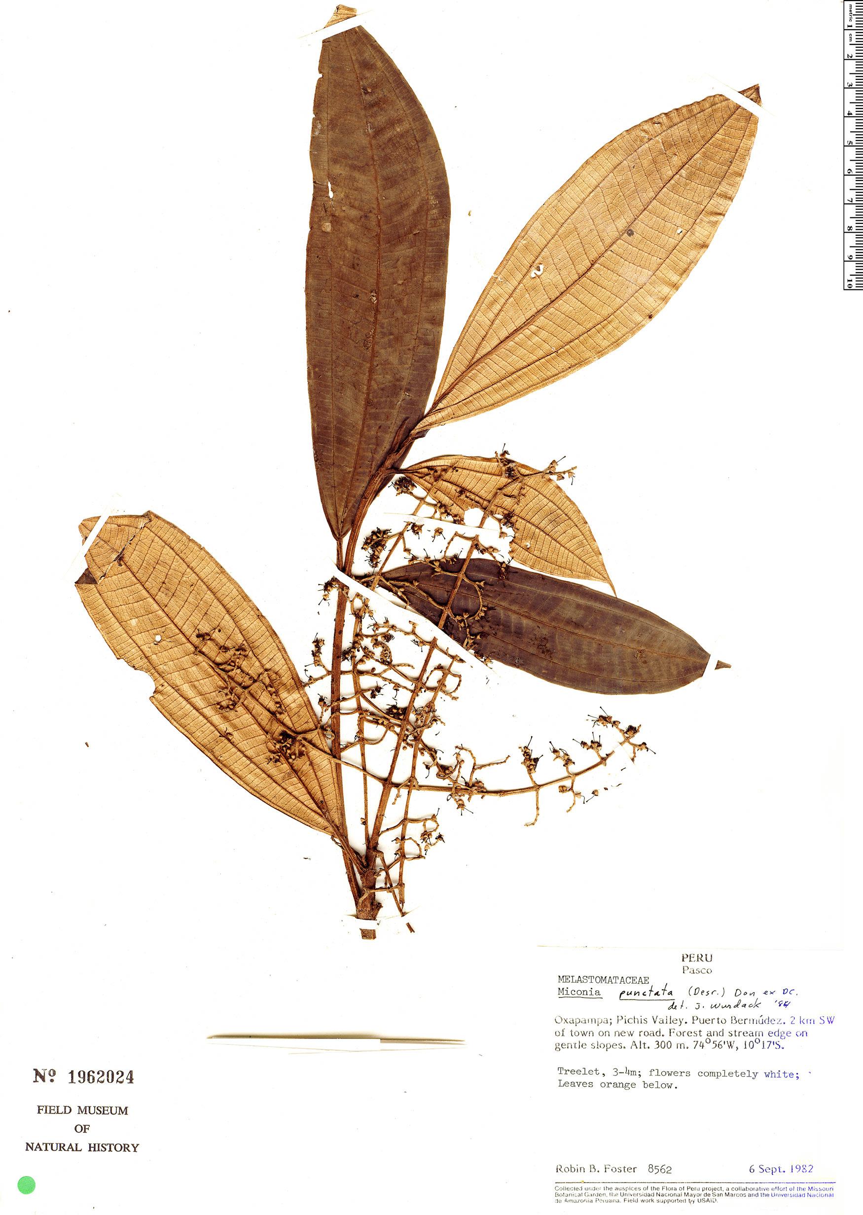 Specimen: Miconia cowanii